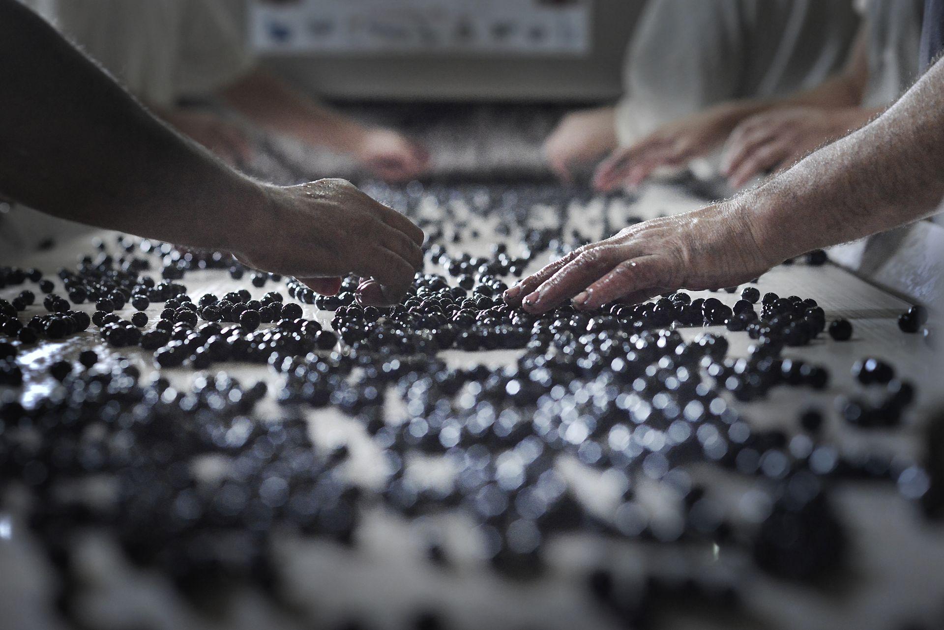 Mains triant les grains de raisins