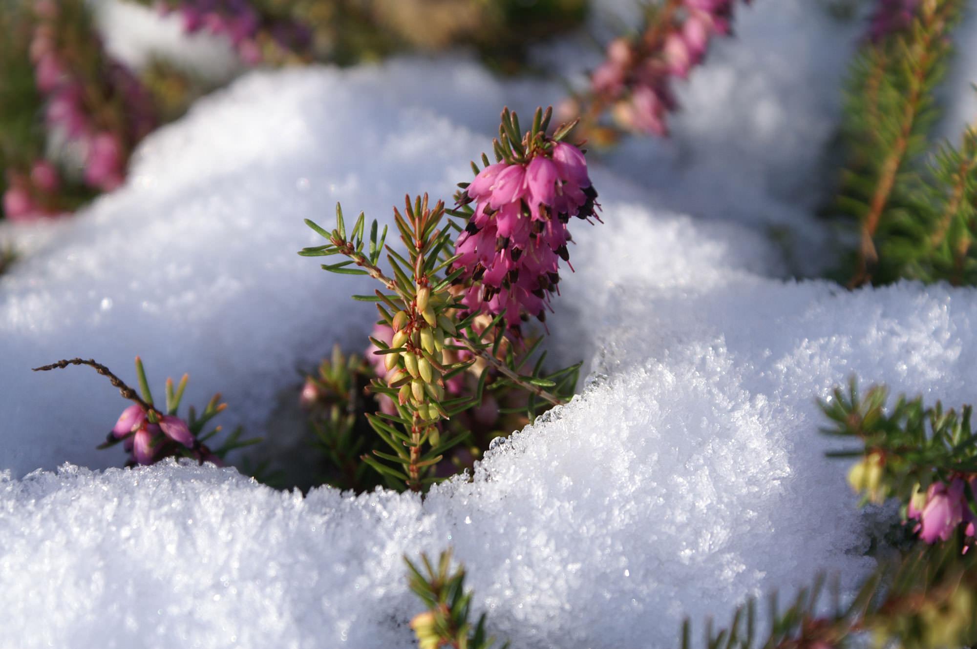 Neige autour fleur