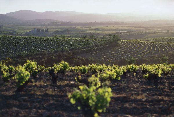 Paysage de vignes en Faugérois