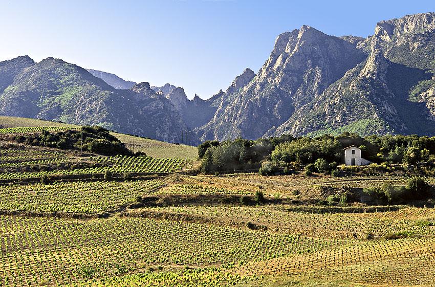 Vignobles de SaintChinian, au fond les montanes de l'Espinouse
