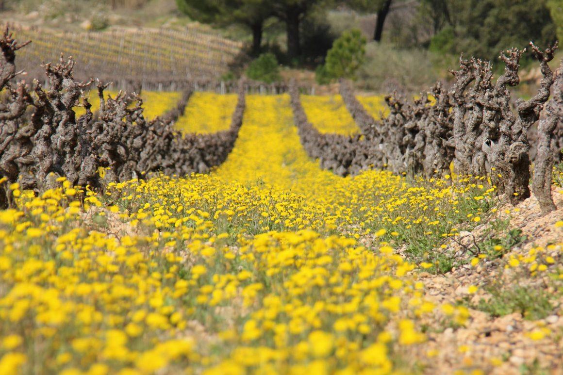 Au milieu d'un champ de vignes au printemps, avec de jolies petites fleurs jaunes au premier plan