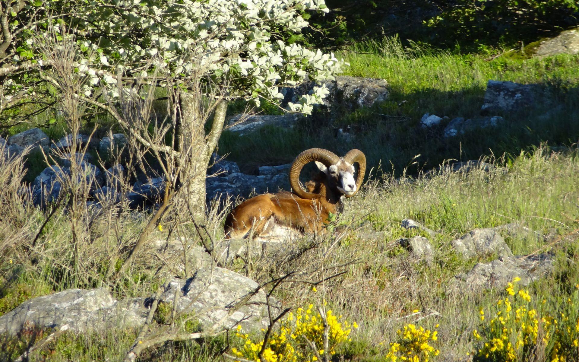 Mouflon sur le Caroux