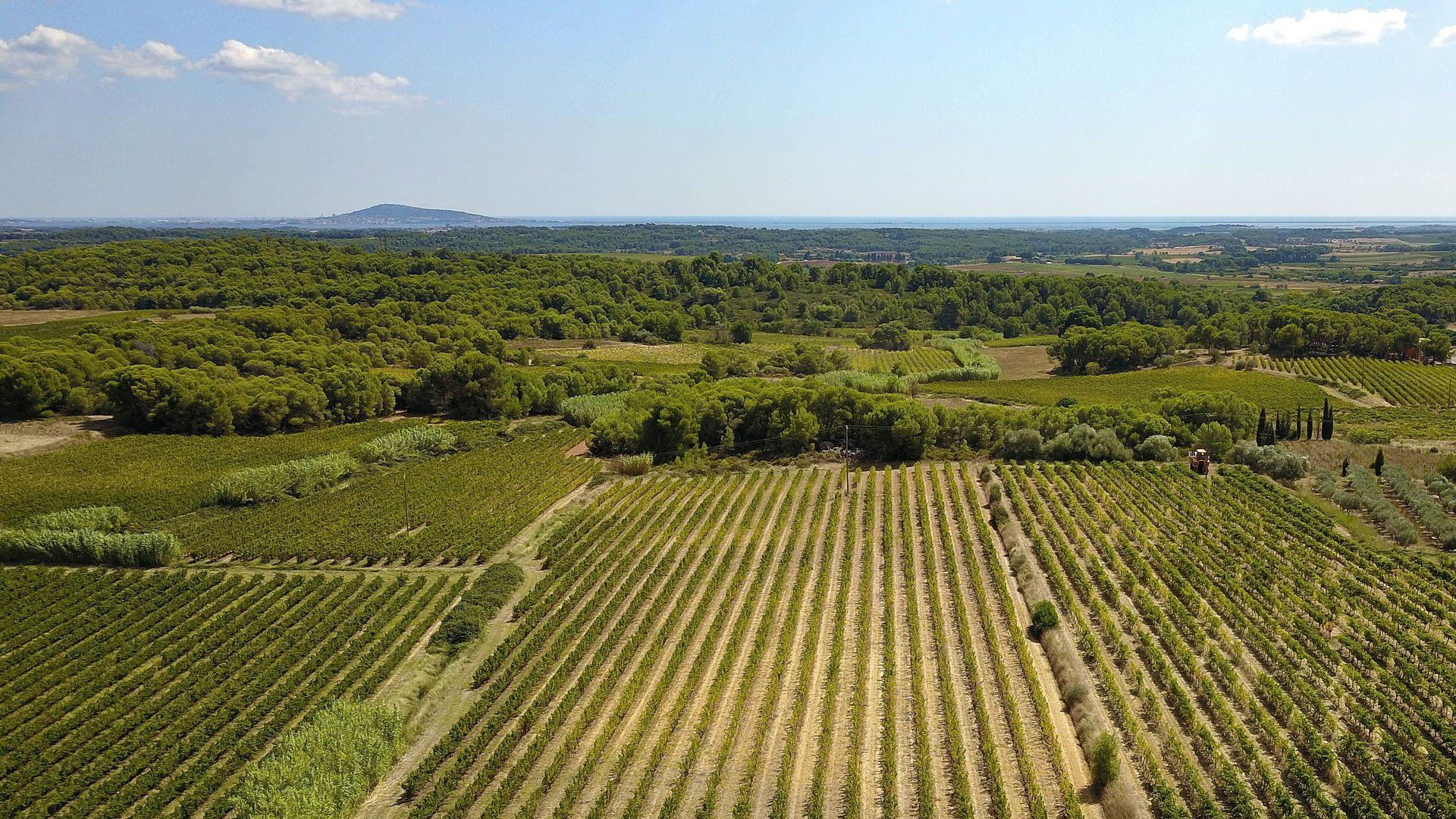 Vignobles de Thau en Méditerranée