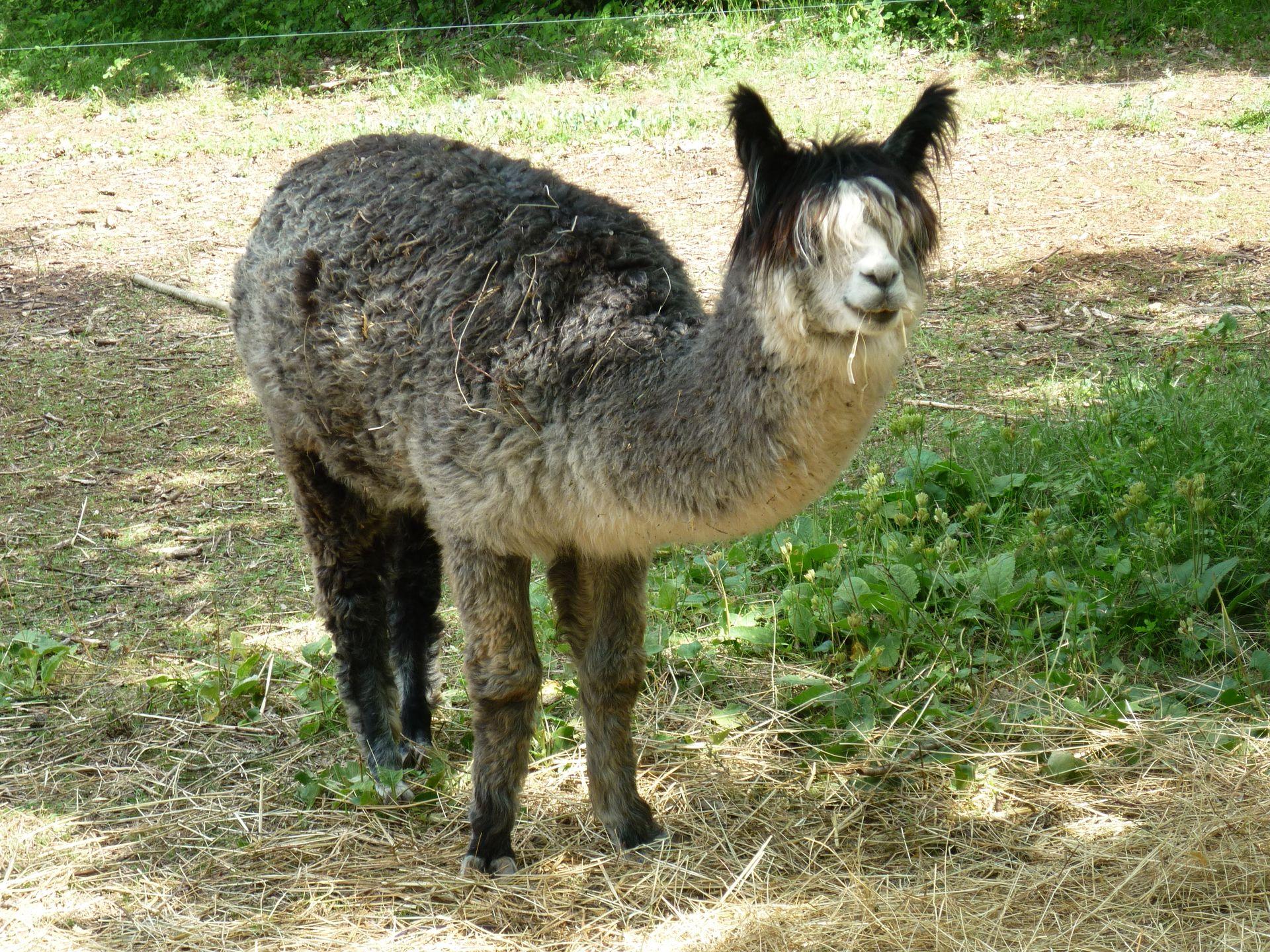 Lama au Parc animalier du Theil au Caylar