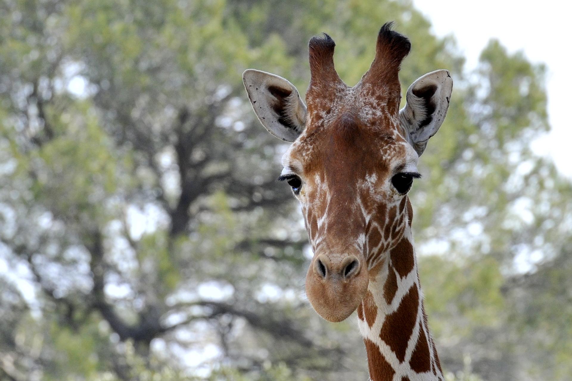 Girafe au zoo de Lunaret à Montpellier