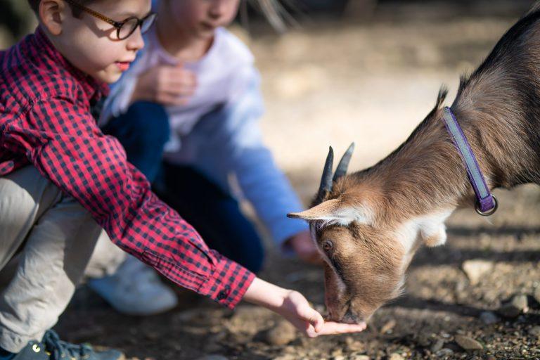 Enfant qui donne à manger à une chèvre sortie en famille dans un parc animalier