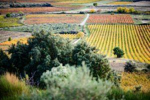 MONTPEYROUX paysage de vignes et oliviers
