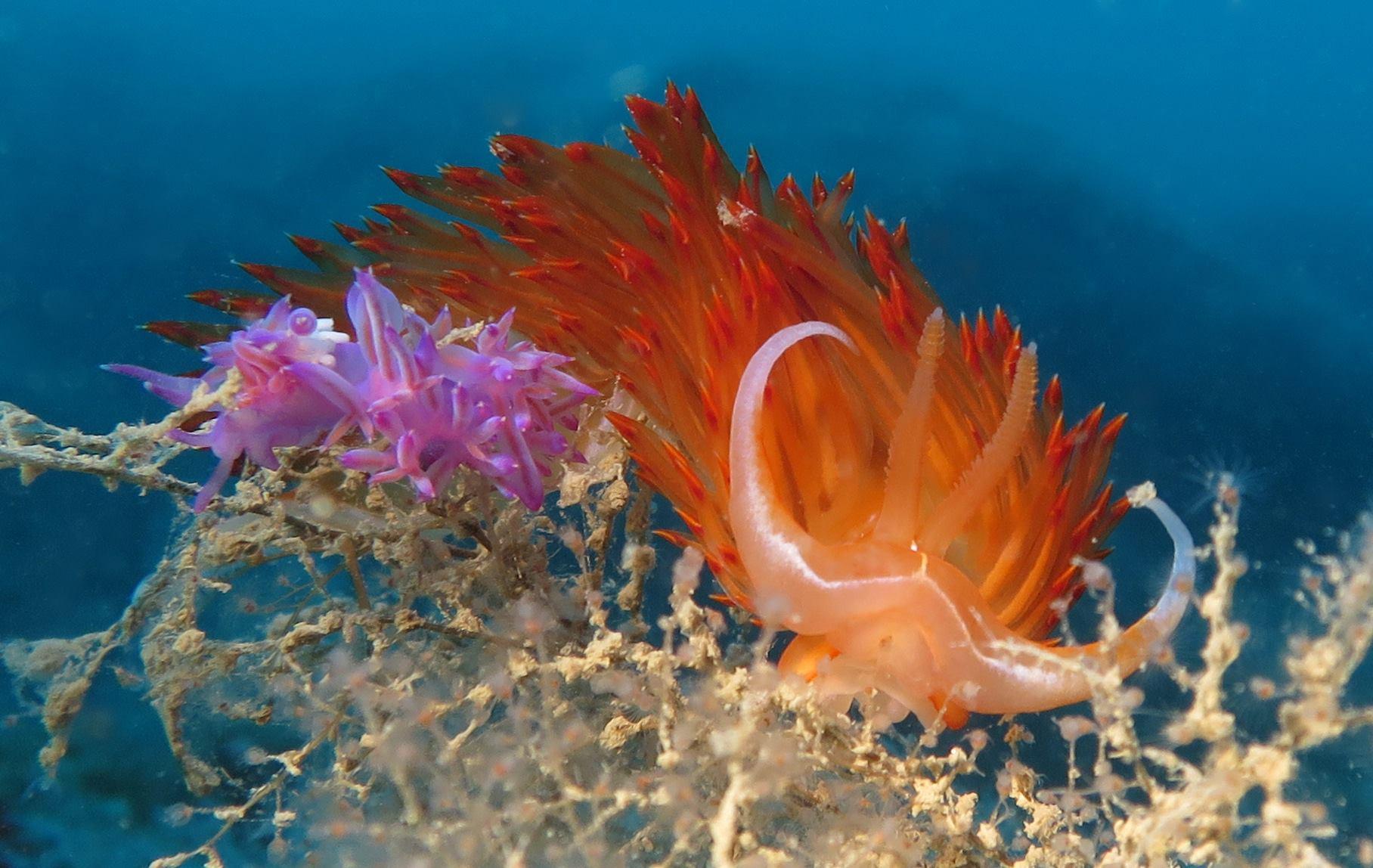 Limace de mer dans la Réserve marine de Palavas