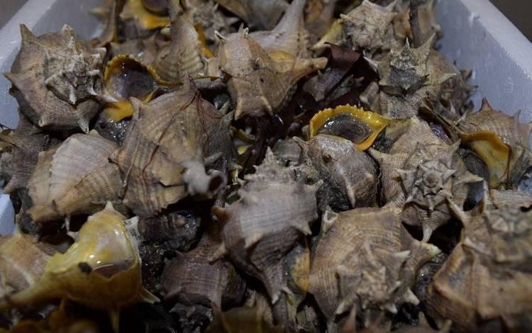 Le Pointu Escargots de mer