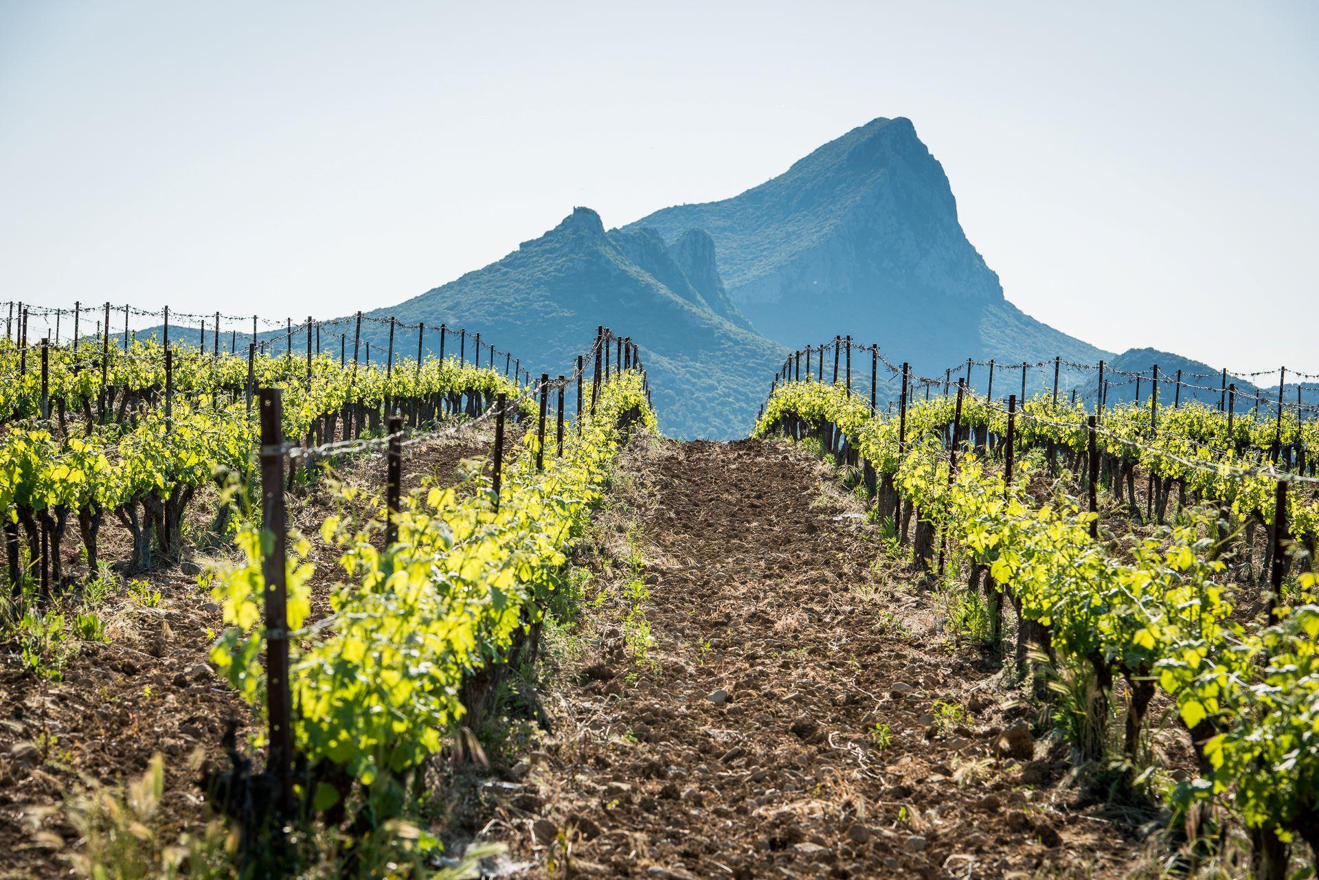Champ de vigne qui s'ouvre sur le pic Saint-Loup
