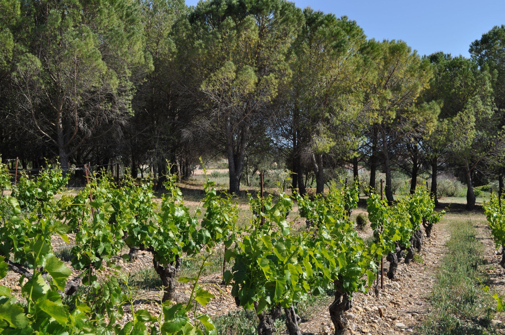 Vignes et pins Vidourle Camargue