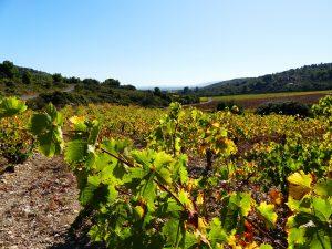 Vignes de muscats à Frontignan