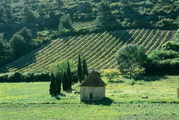 Vignes à Saint-Chinian avec un mazet