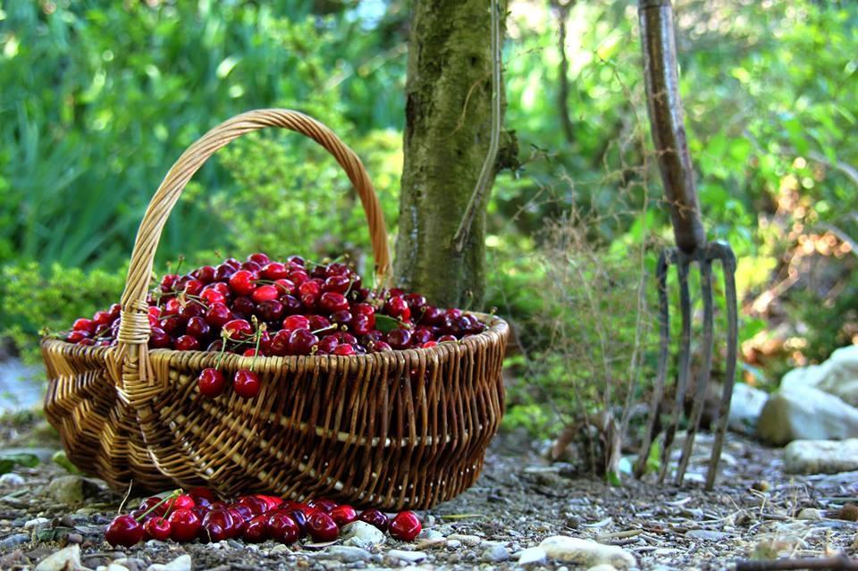 panier rempli de cerises posé au pied d'un arbre à côté d'une fourche au printemps