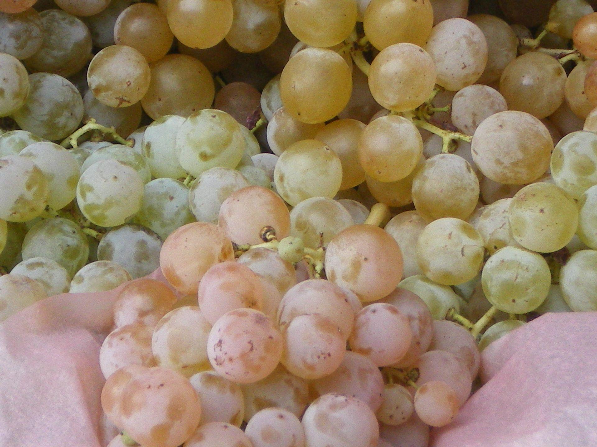 Grappes de servant, raisin de table de fin d'année