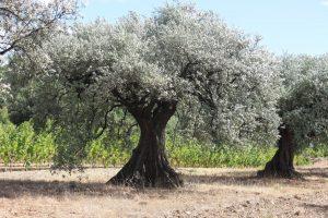 Un olivier bien garni