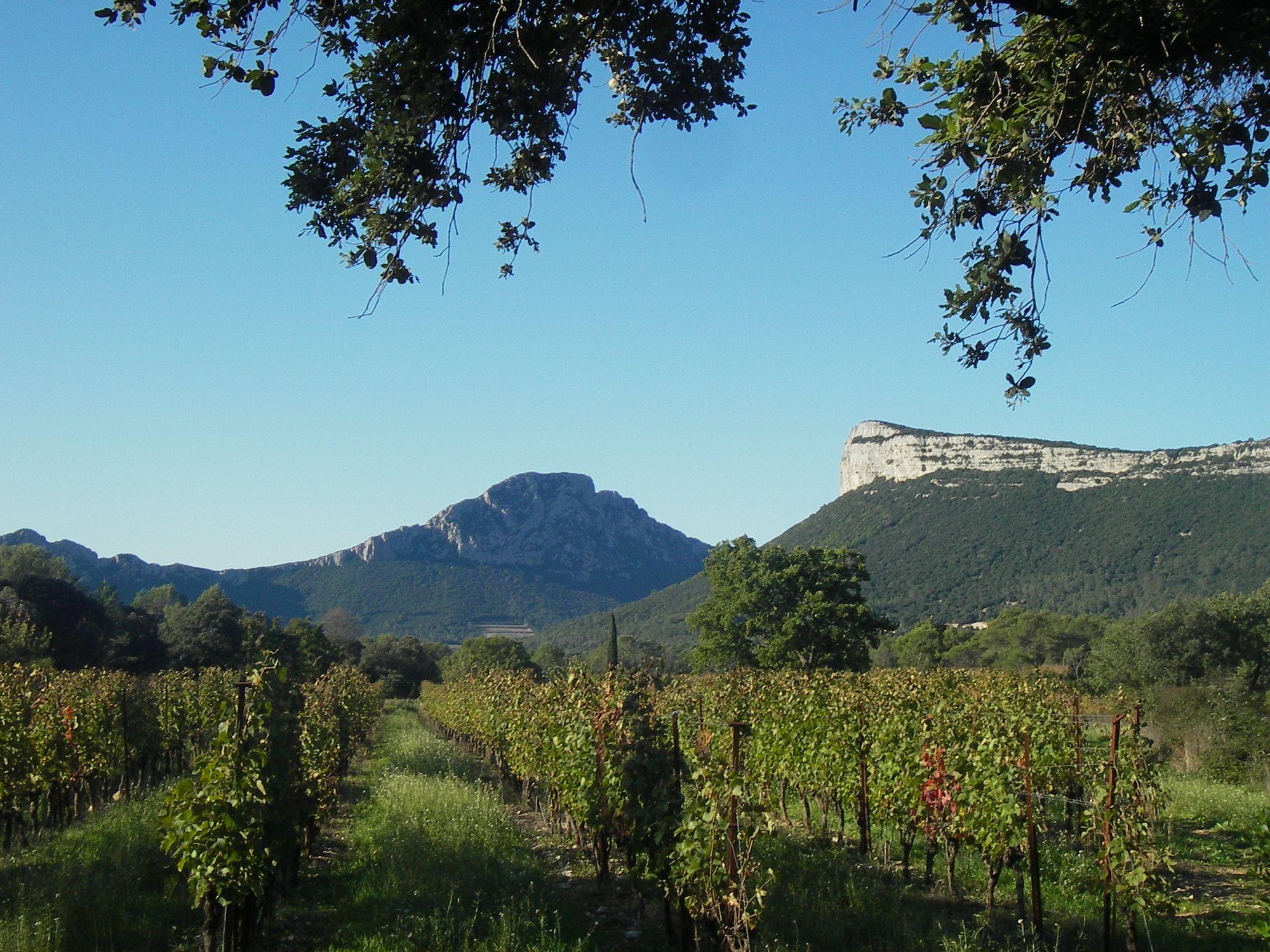 Vignes au pied du Pic St Loup et de l'Hortus