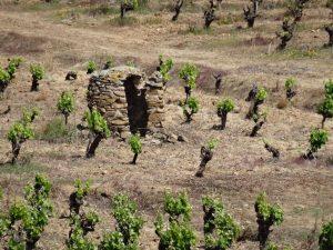 Vignoble avec capitelle de Saint Chinian