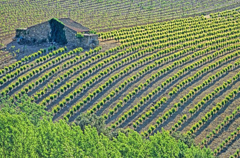 Champs de vignes bien rangées avec mazet dans le vignoble de St Chinian