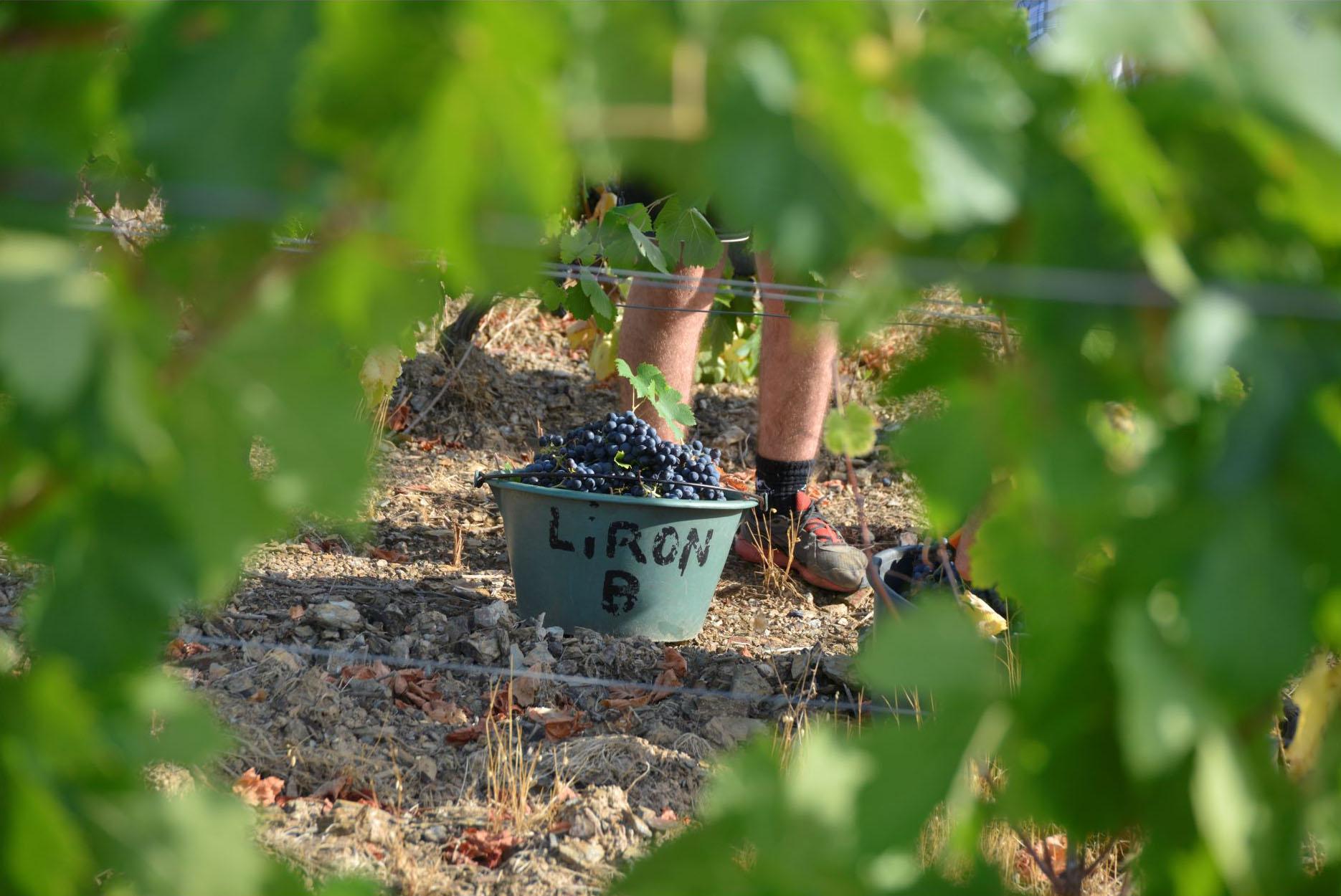 Saut rempli de grappes de raisin aux pieds d'un vendangeur au milieu des vignes