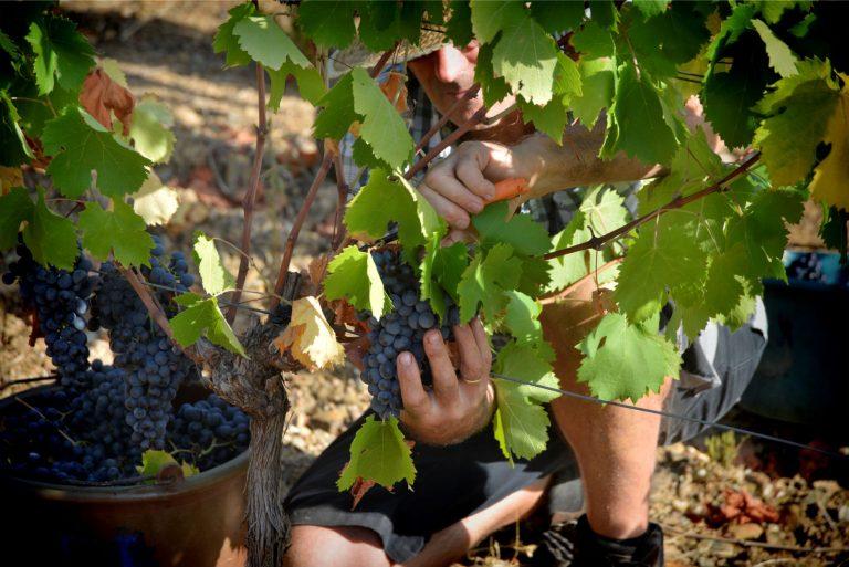 Vendangeur dans des vignes en gros plan