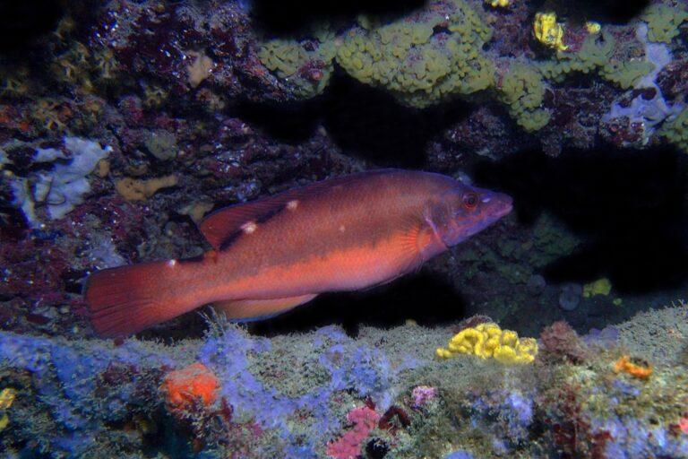 Coquette femelle, un poisson visible dans l'Hérault
