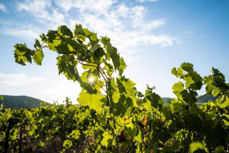 Paysage de vignobles à Cap d'Agde Méditerranée